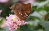 Papillon feuille