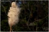 Quenouille au vent
