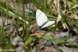 Piéride des crucifères - Pieris oleracea