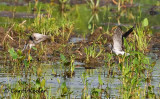 Yellowlegs' Squabble