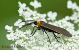 Moth Virginia Ctenucha