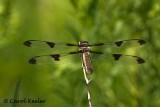 Female Twelve Spotted Skimmer