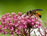 Great Golden Wasp