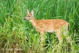 White-Tail Deer Fawn