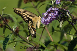 Great Swallowtail