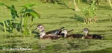 Mama Wood Duck and her Brood
