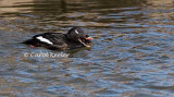 White Wing Scoter