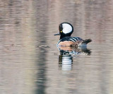 Handsome Hooded Merganser