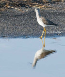 Greater Yellowlegs Portrait