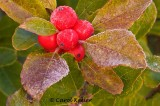 Frost on Winterberry