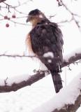 Cooper's Hawk, Back