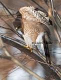 Coopers Hawk Spotting Prey