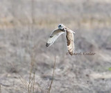 Short Eared Owl on the Hunt