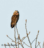 Short Eared Owl Yawn
