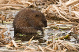 Muskrat-The Cattail Eater