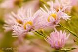 Pink Boltonia