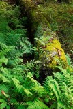 Old Log and Ferns
