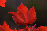 Red Leaves-The End of Autumn