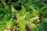 A Tapestry of Ferns