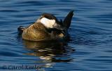 Male Ruddy Duck Preening