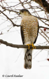 Gallery: Accipters-Sharpshin and Cooper's Hawks