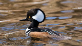 An Excited Male Hooded Merganzer