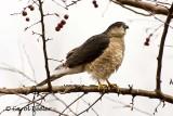 Sharpshin Hawk-Into the Wind