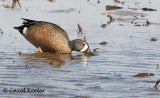 Blue Wing Teal Feeding
