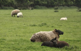 Sheep Siesta
