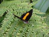 Black and Orange, Seaforde Butterfly Farm