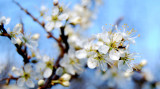 Blurry Blossoms.