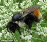 Red-banded bumblebee (Bombus ternarius)