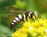 Digger Wasps (Family: Crabronidae)