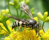 Sand wasp (Bicyrtes sp.)