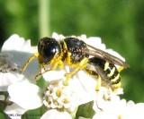 Digger wasp (Ectemnius sp.)
