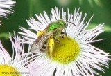 Sweat bee (Agapostemon sp.)