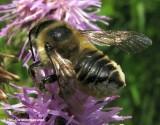 Leafcutter bee (Megachile)