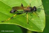 Black-and-yellow mud dauber (Sceliphron caementarium)