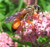 Sphecid wasp (Sphex ichneumoneus)