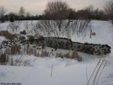 Mallards in pond