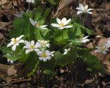 Bloodroot  (Sanguinaria canadense) in Ash woods