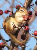 Chipmunk and crabapples