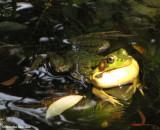 Green frog (Rana clamitans) calling