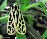 Ornate or Virgin Tiger Moth (Grammia virgo), #8197