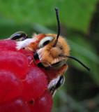 Leafcutter bee (Megachile latimanus)