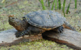 Snapping Turtle on platform