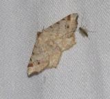 Red-headed inchworm moth (Macaria bisignata), #6342