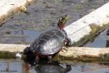 Painted turtle on turtle raft