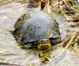 Blandings turtle (Emydoidea blandingi)