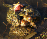 Let me outta here!  American toads